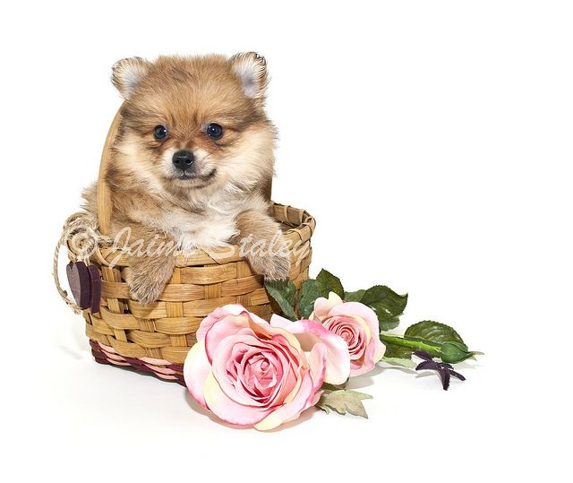 pomeranian puppy sitting in a basket with pink roses around her, on a white background.