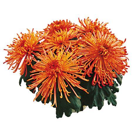 Crisantemi Samourai Zuki® - Clicca sulla foto per tornare Indietro