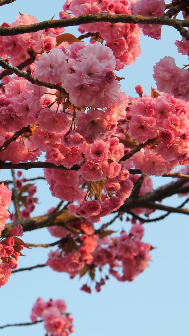 Download wallpaper 720x1280 tree, flower, bloom, spring samsung galaxy mini s3, s5, neo, alpha, sony xperia compact z1, z2, z3, asus zenfone hd background