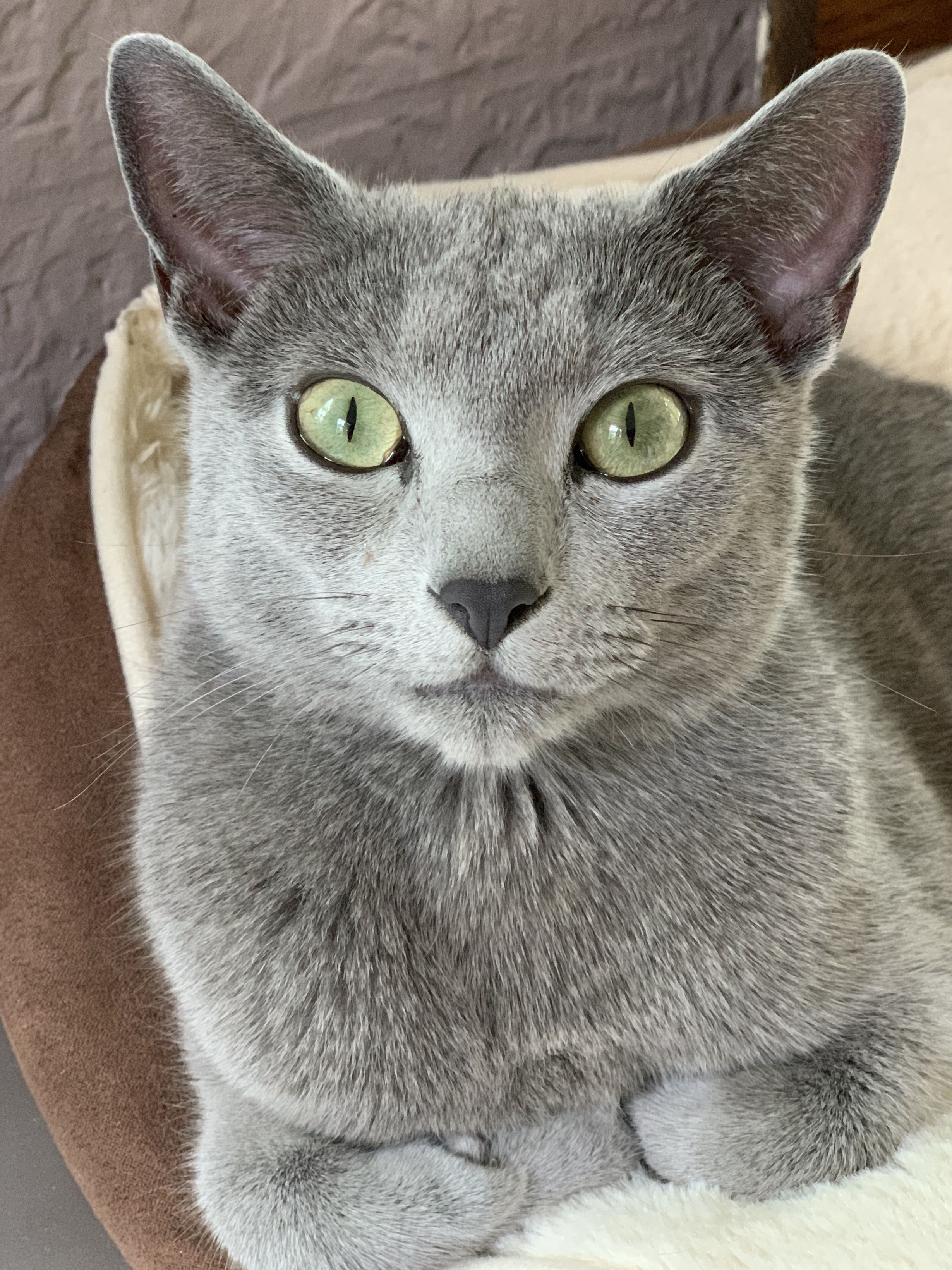 Pin By Ihunna On Cat In 2020 Russian Blue Cat Russian Blue Cute Cats