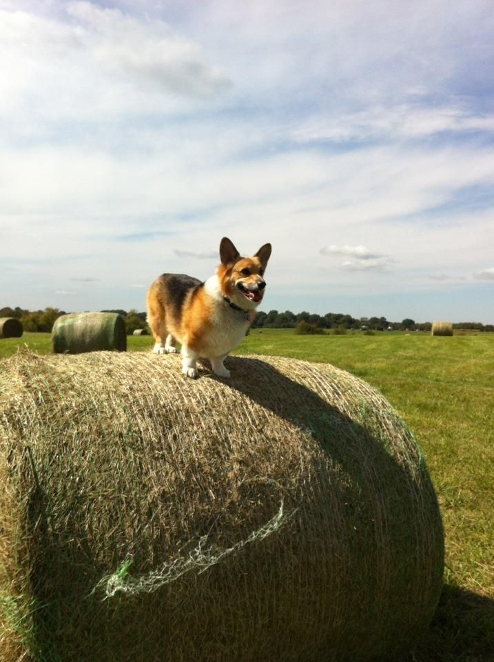 It S Been A Year Since He Was Killed I Miss Him So Much Indiana Corgi Crazy Corgi Lady Corgi Dog