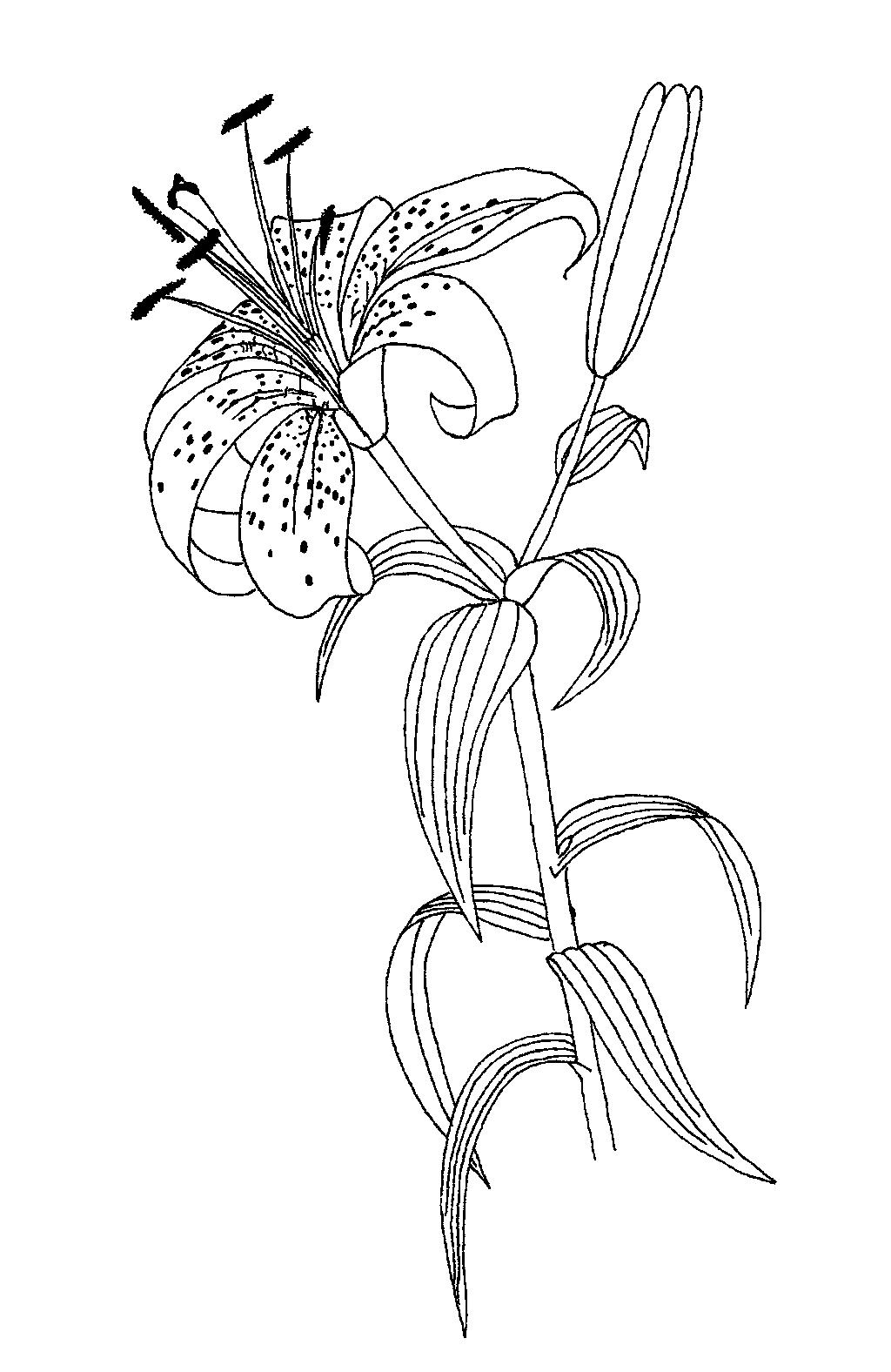 Lilium Sp Coloring Sheet In 2020 Flower Coloring Sheets Flower Coloring Pages Flower Drawing