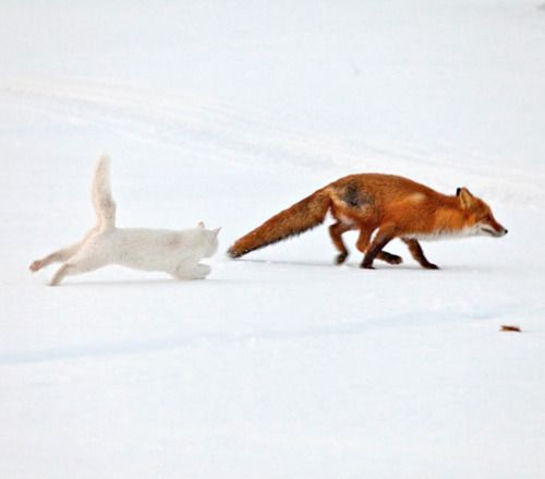 Chat blanc poursuivant un renard roux sur la neige.