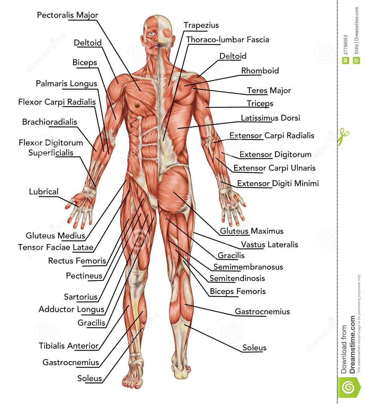 anatomie-du-système-musculaire-mâle-27798053.jpg (1175×1300 ...
