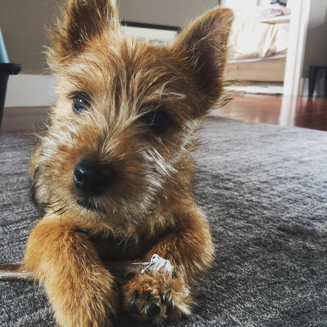 Norwich Terrier @winslowinthecity on Instagram | Norwich ...