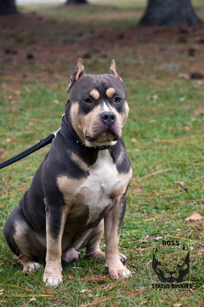 Males Boss Status Bullies And Chams Tri Color American Bully And Panther Chams Chameleons Pan Animals Funny Cats Pitbull Puppies For Sale Pitbull Puppies