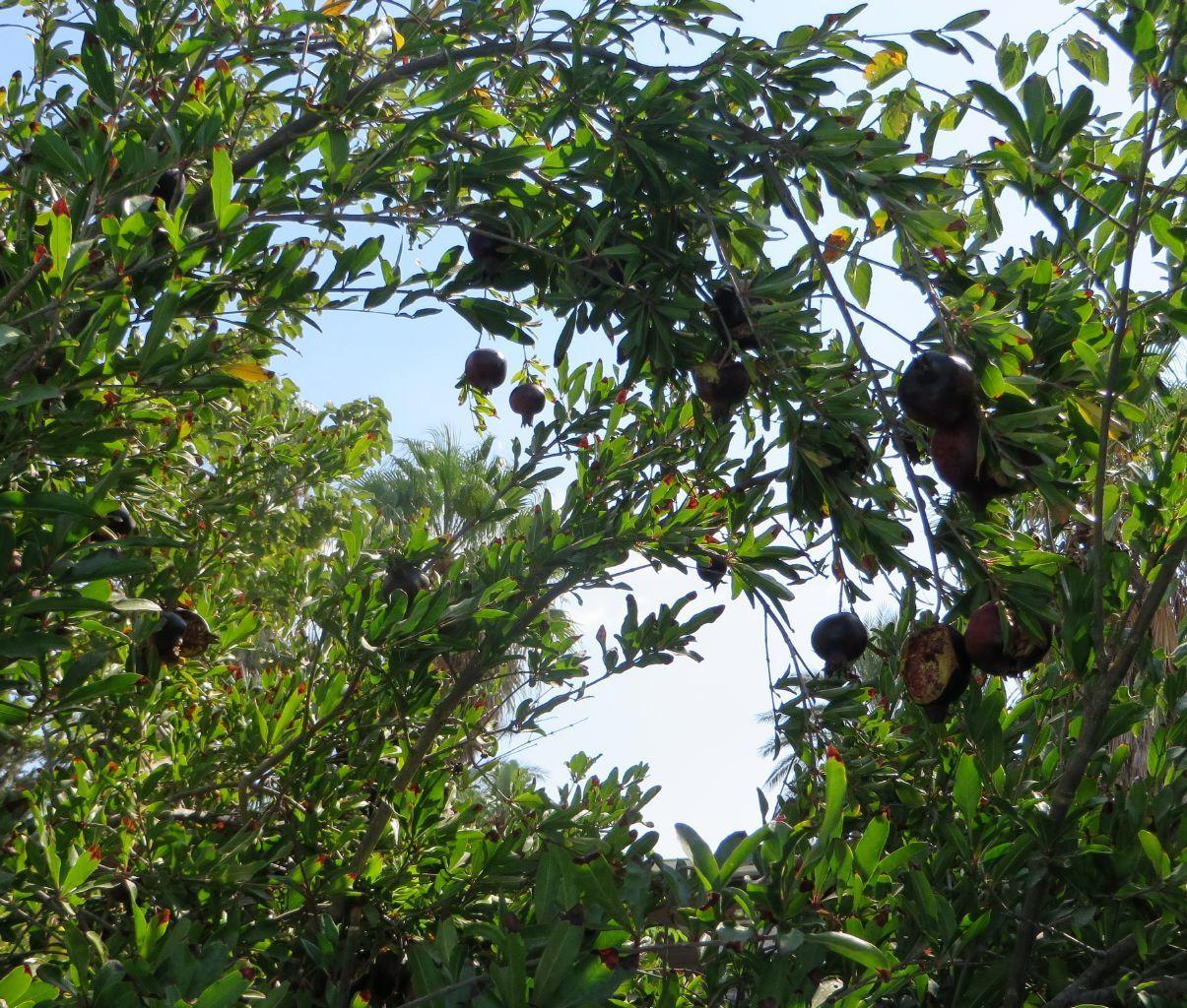 Гранаты. © Наталья Кленовская (http://natasha-kln.livejournal.com). #Punica #Punicas #Tree #Trees