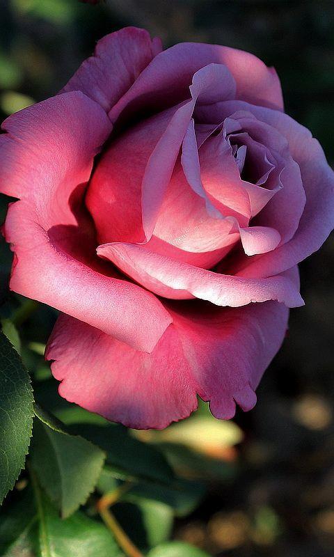 Rosa: