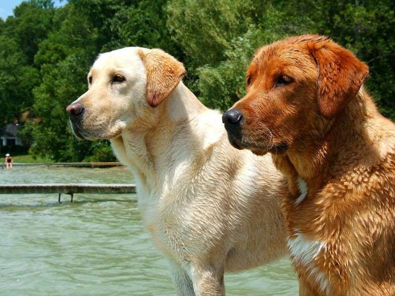 The Labrador Retriever Is The Most Popular Dog Breed Among