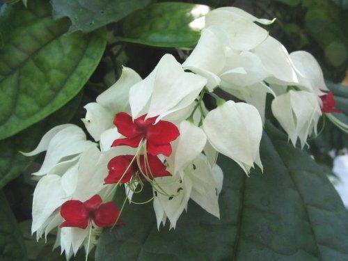 Live White Red Bleeding Heart Vine Plant Gardenista Bleeding Heart Bleeding Heart Plant Flowering Vine Plants