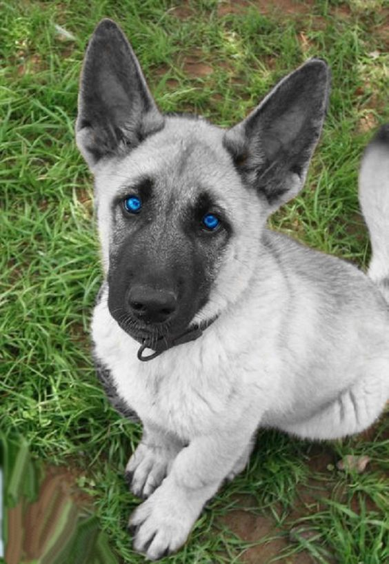 White German Shepherd Puppies With Blue Eyes Puppies With Blue