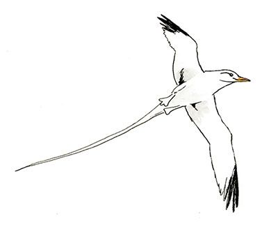 Superbe White Tailed Tropicbird. A Nature Sketch. Copic Markers Sketch Of Wild  Birds By