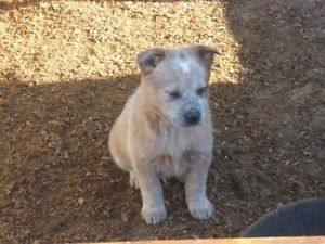 Australian Cattle Dog Aka Red Heeler Puppies For Sale Kamloops