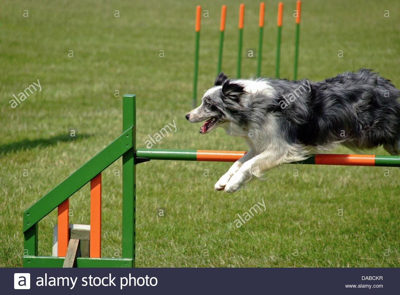 Border Collie Show Dogs Blue Merle Colored Border Collie Going Over Jump At Dog Agility Border Collie Collie