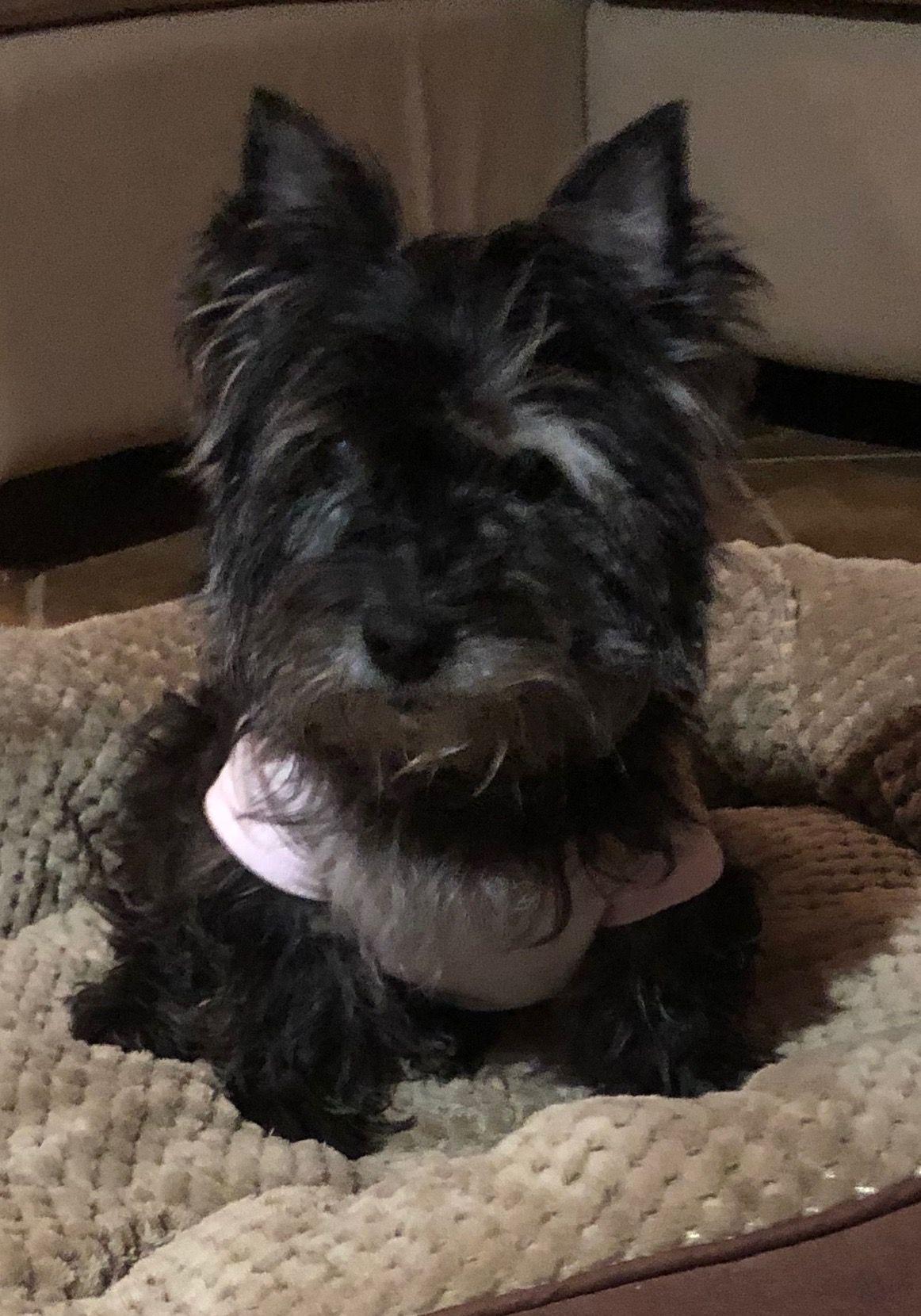 Pin By Julie Doe On Odd Sods Terrier Puppies Terrier Cairn