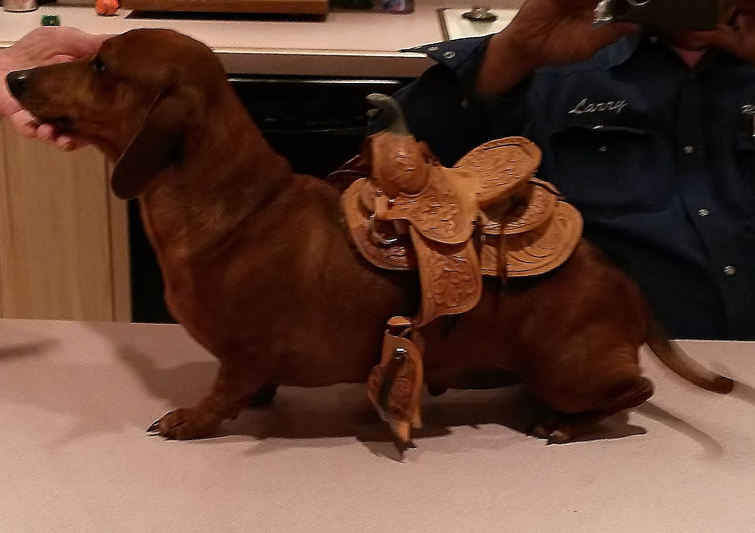 Saddle Up Dachshund Edition Amarillo Dog Walking Dog