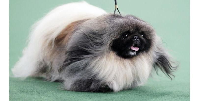 37 Of The Fluffiest Animals You Will See On Planet Earth Slide 12 Stars Westminster Dog Show Dog Show Pekingese