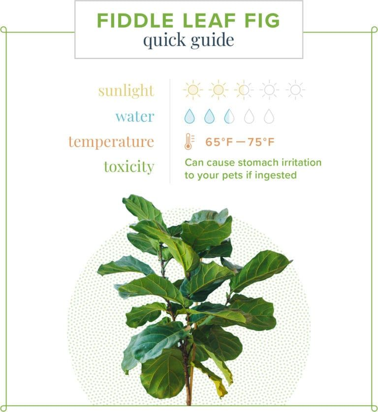 Photo of Fiddle Leaf Fig Care Guide: Growing Information and Tips | ProFlowers