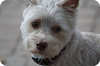 Pin By Becky Wadley On Pets To Save White Terrier West Highland