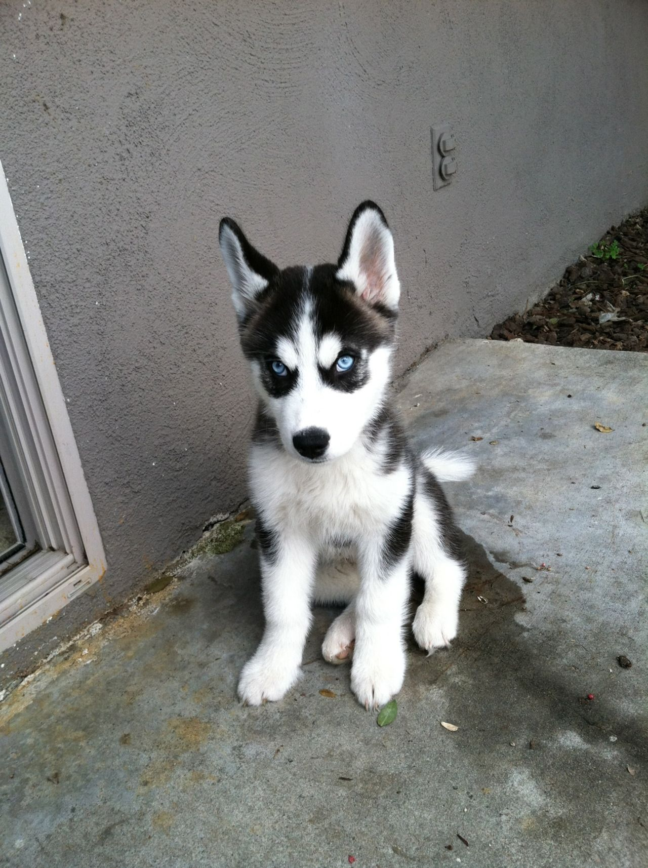 What An Adorable Guilty Looking Little Face Siberian Husky Puppy