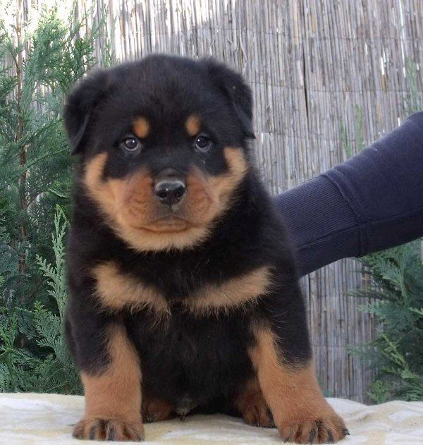 Cute Rottweiller Pup Rottweiler Puppies Rottweiler Rottweiler Dog