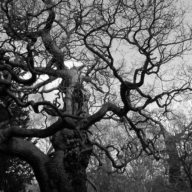 Image result for images of gnarly old trees