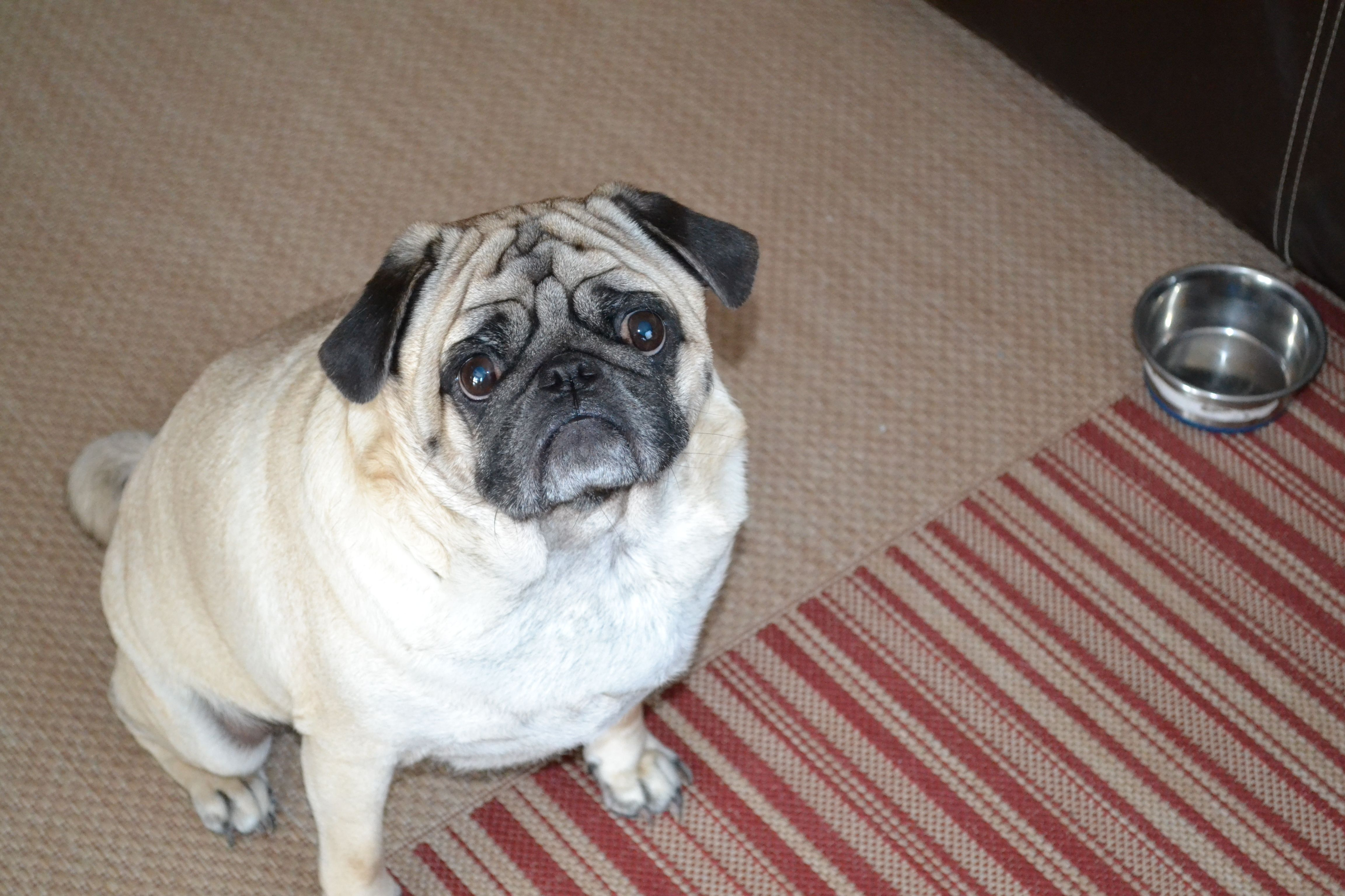 My Little Goku Otherwise Known As Gooey The Pug Pug Love