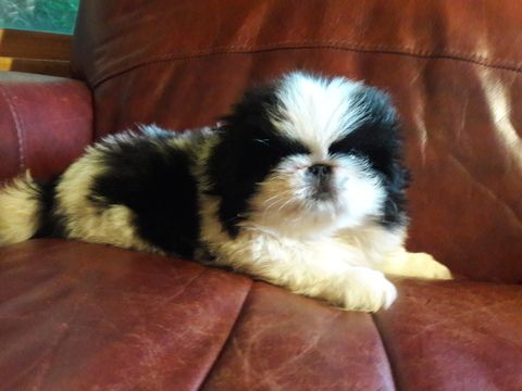 Litter Of 2 Pekingese Puppies For Sale In Asheville Nc Adn 38615