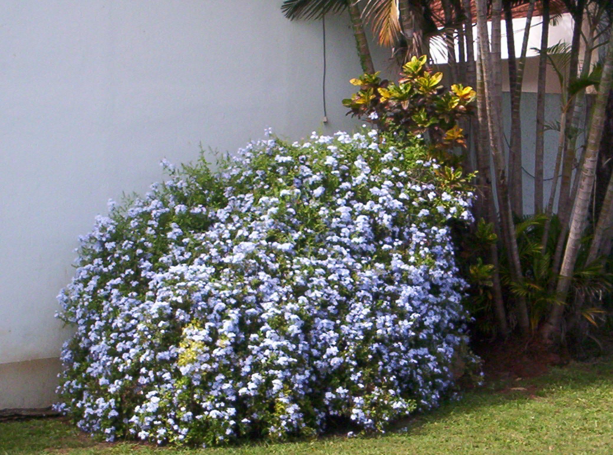 Arbustos ornamentales arbustos ornamentales fotos for Arbustos para patios