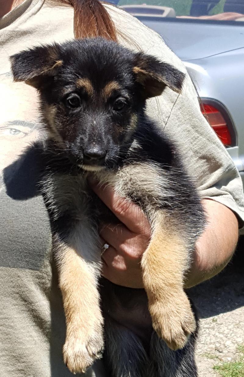 Adopt Kwick On Shepherd Dog Dogs Dog Search