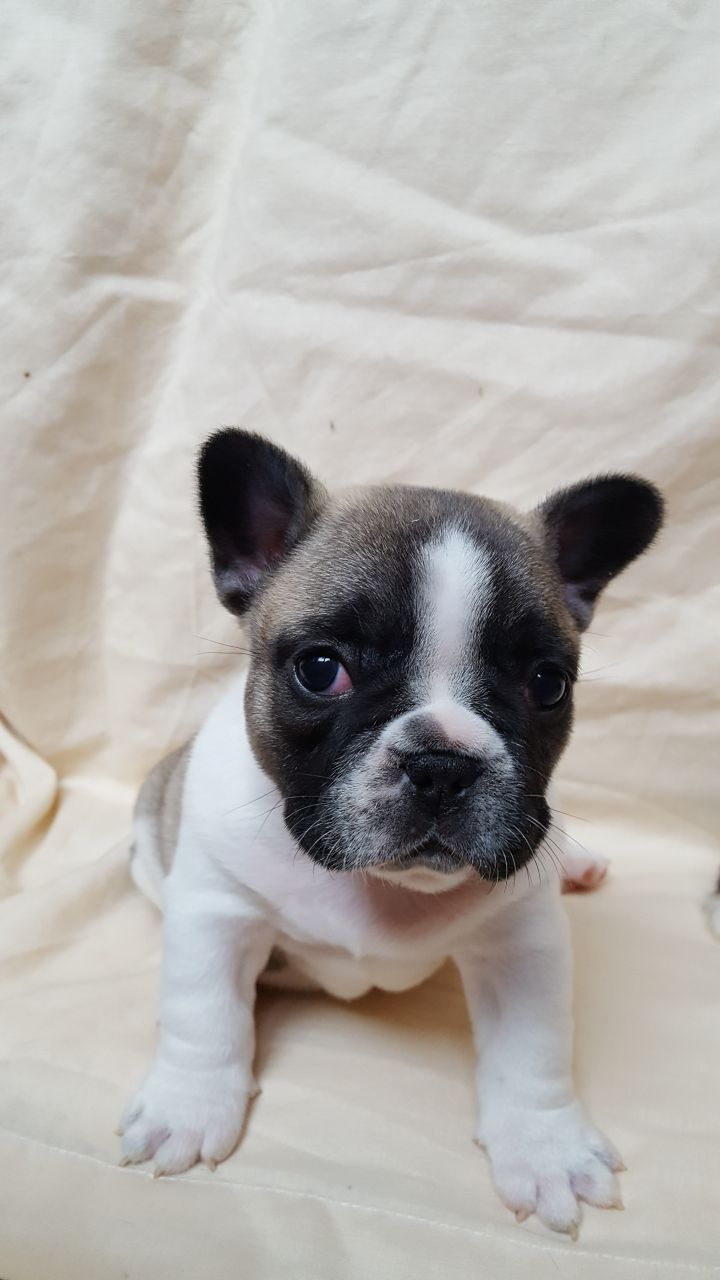8 Week Old French Bulldog Puppies For Sale Fakenham Norfolk Pets4homes French Bulldog Puppies Bulldog Puppies For Sale French Bulldog