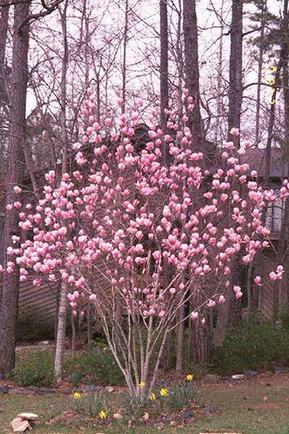 Japanese Saucer Magnolia Treetulip Tree Seedsmagnolia