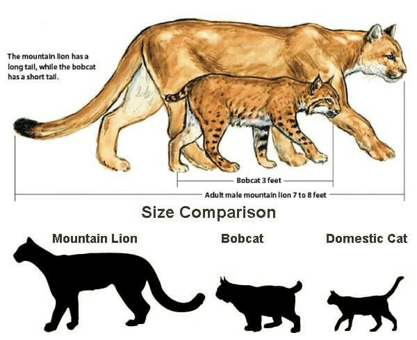 Size chart | Mountain lion, Domestic cat, BobcatPinterest