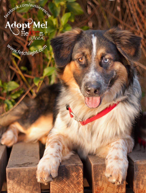 Buzz, Australian Shepherd mix who was at Aussie Rescue San