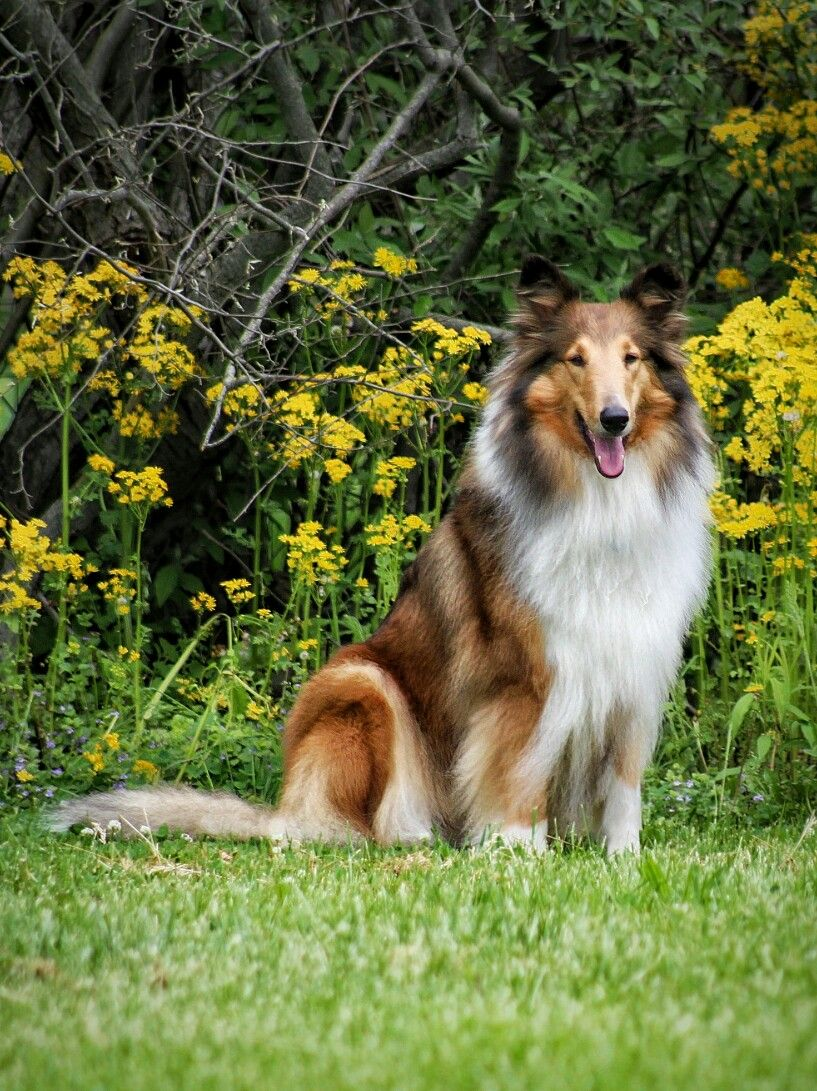 Rough Collie Sitting In The Back Yard Enjoying A Summer S Day