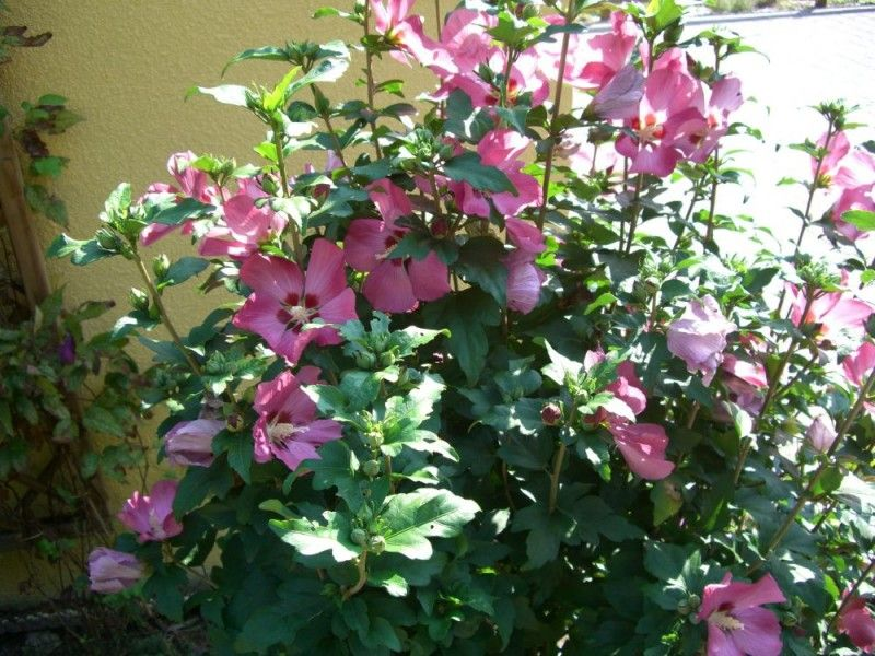 hibiscus syriacus 39 woodbridge 39 plantes ext rieures haie pinterest. Black Bedroom Furniture Sets. Home Design Ideas