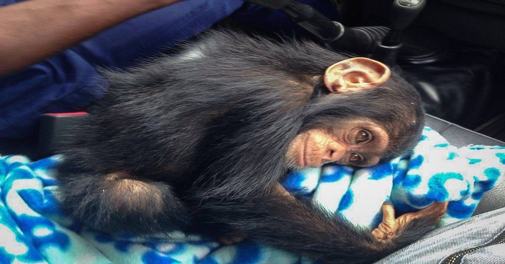 Sad Baby Chimp Gets Rescued And Finally Gets To Experience Happiness