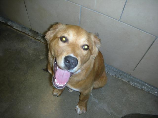 Golden Retriever Dog For Adoption In Eureka Springs Ar Adn
