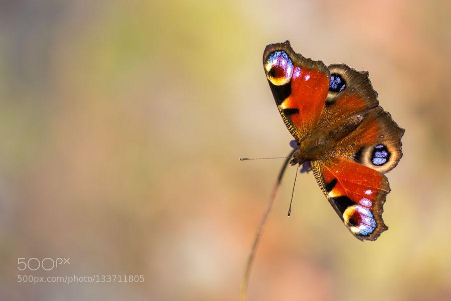 European Peacock by mikaelafriberg. @go4fotos