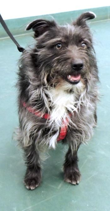Cairn Terrier Schnauzer Mix Adult Female Medium Pet Rescue