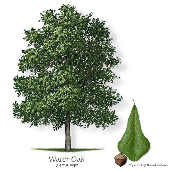 Water Oak Pin Oak White Oak Tree Trees To Plant Plants