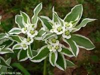 http://www.minnesotawildflowers.info/flower/snow-on-the-mountain