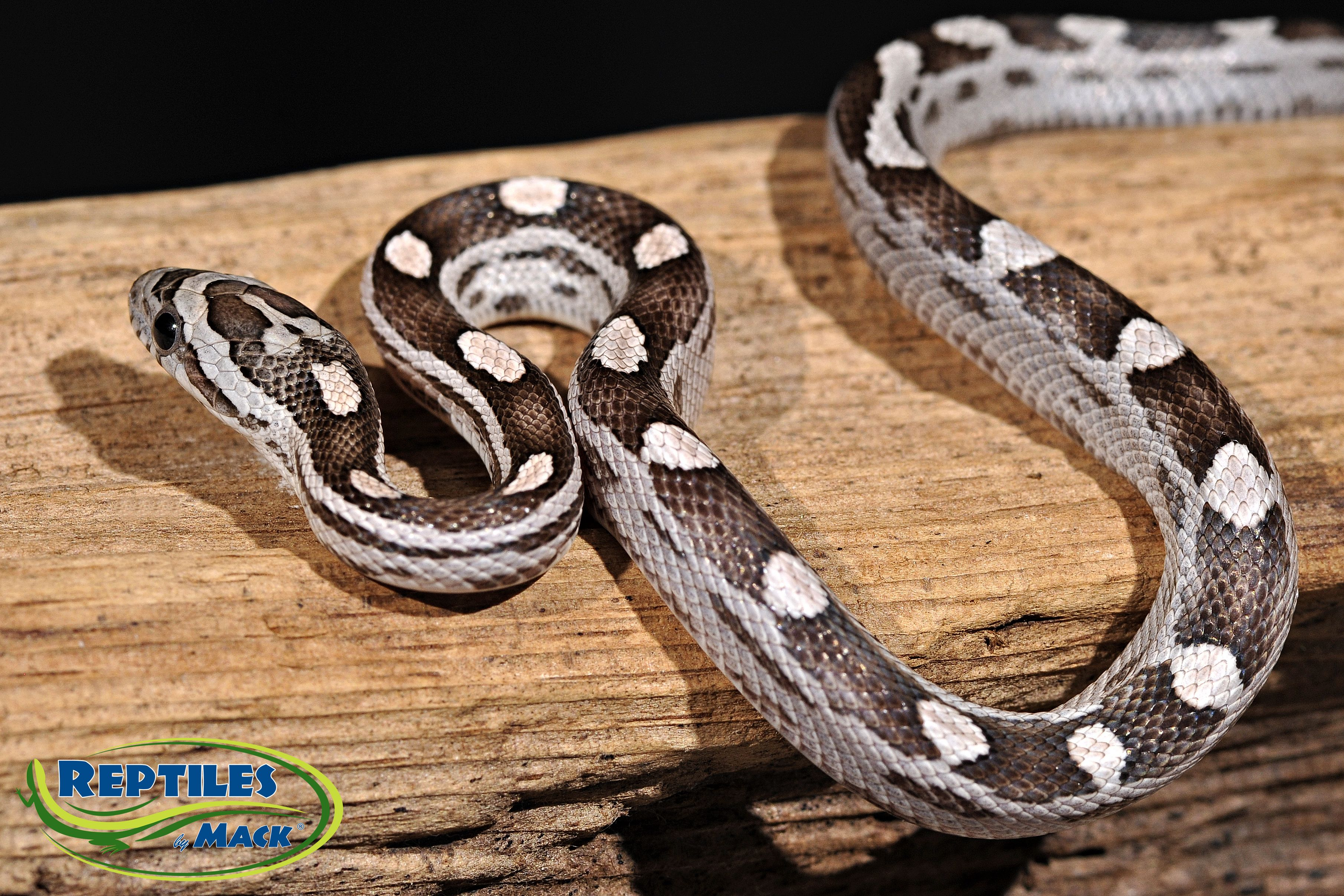 Black Motley Corn Snakes for Sale at Reptiles by Mack