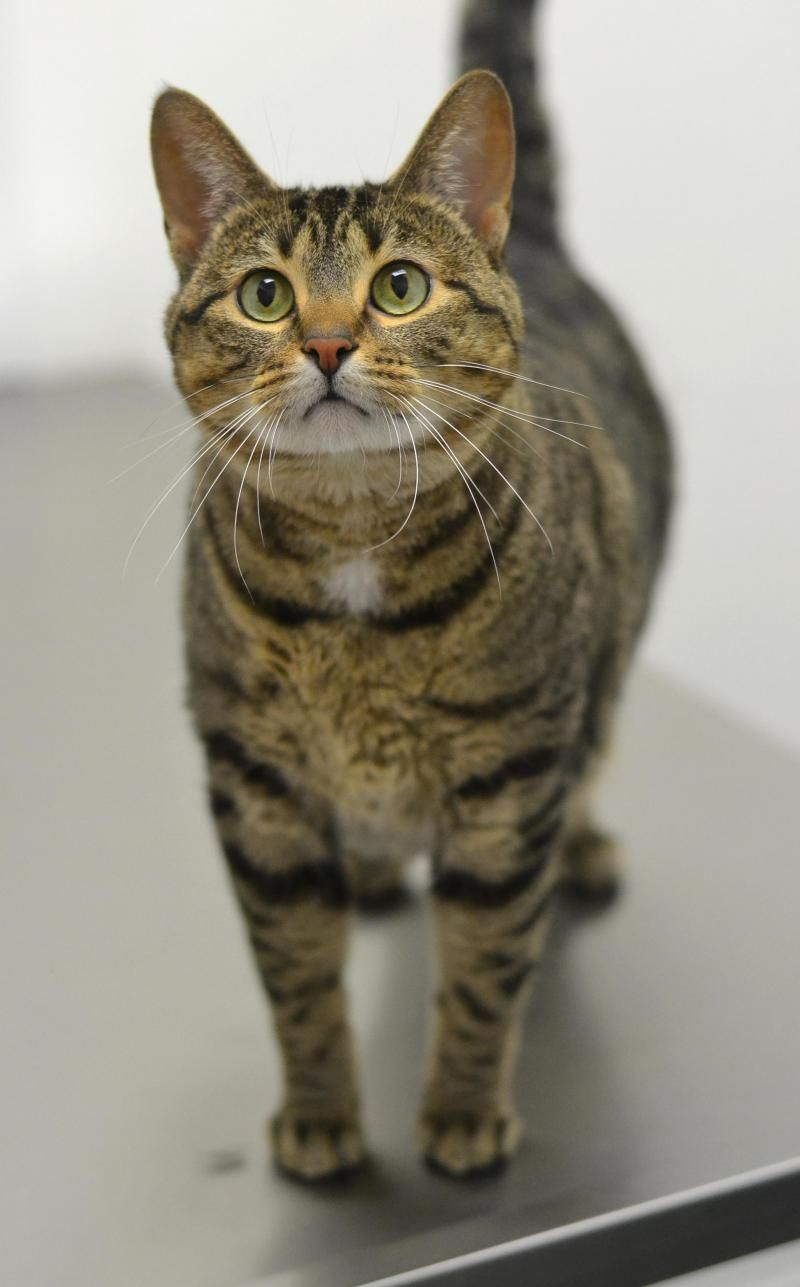 Meet Kaida a Petfinder adoptable Tabby - Brown Cat   Springfield, IL   Sangamon County had an anonymous party donate money to subsidize adoption fees on all cats over one...