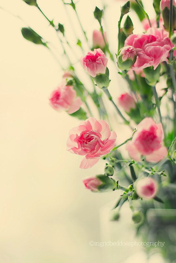 Pink carnation flowers, Floral print, flower photography, carnation ...