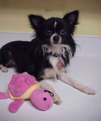Poughkeepsie - 5 pounds is an adoptable Papillon Dog in Waldorf, MD. ...ADOPTION PENDING....Poughkeepsie is a gorgeous 5 pound 2 year old Papillon Chihuahua mix. Poughkeepsie is a big name for such a ...