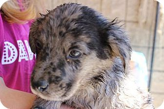 Tiger Ga Australian Shepherd Catahoula Leopard Dog Mix Meet Thunder A Puppy For Adoption Catahoula Leopard Dog Mix Puppy Adoption Kitten Adoption