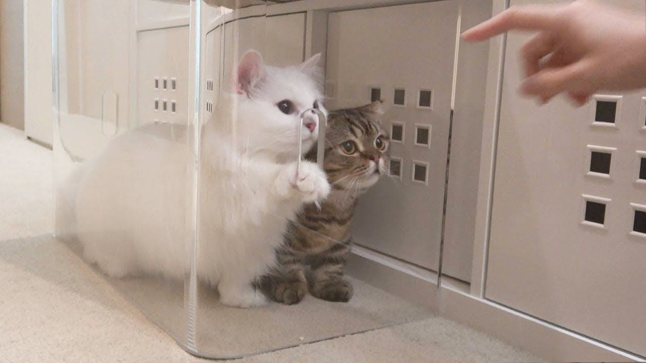 The Cats Trying To Be Cute To Get Out Of The Jail Eng Sub In 2020 Fluffy Cat Cats Cat S