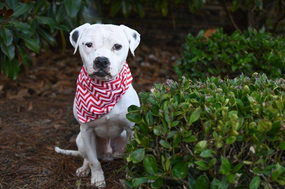 Adopt Jasper on Pit dog, Dogs, Pitbull terrier