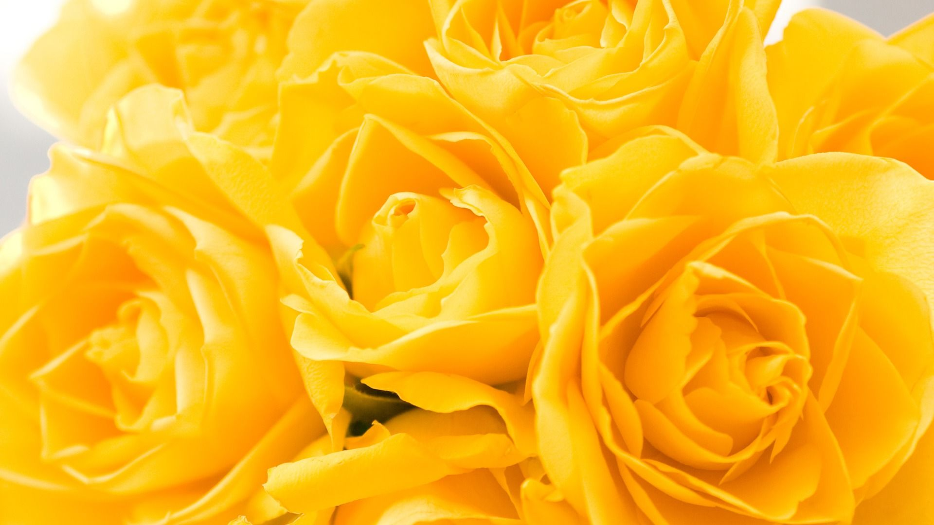 Yellow Roses 1920 X 1080 Wallpaper Beautiful Flowers Pictures Beautiful Flowers Wallpapers Yellow Flower Wallpaper
